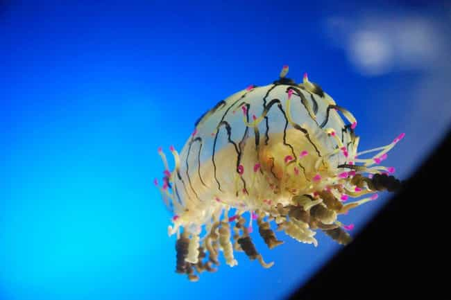 Flower Hat Jellyfish is listed (or ranked) 3 on the list 75 Stunning Oceanic Invertebrates That Deserve A Closer Look