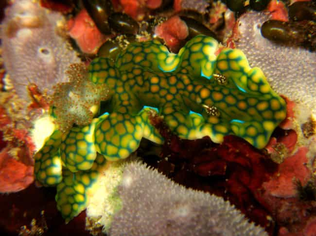 Miamira Sinuata is listed (or ranked) 3 on the list The Coolest Sea Animal You've Never Heard Of: The Nudibranch