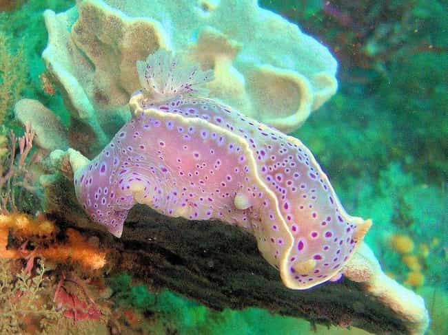 Ceratosoma Ingozi - 'Ink... is listed (or ranked) 2 on the list The Coolest Sea Animal You've Never Heard Of: The Nudibranch