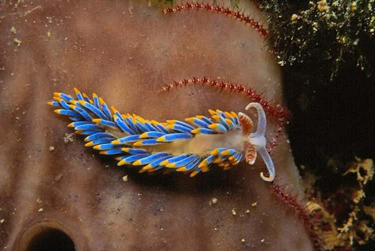 Nudibranch Types | Gallery of Colorful Nudibranchs