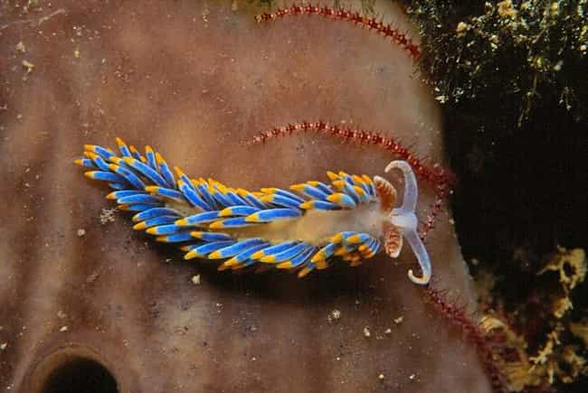 Berghia Coerulescens is listed (or ranked) 1 on the list The Coolest Sea Animal You've Never Heard Of: The Nudibranch