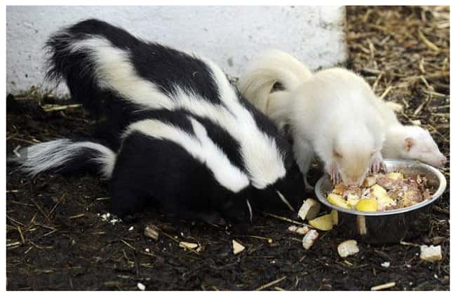 Skunk is listed (or ranked) 20 on the list 38 Incredible Albino (and Leucistic) Animals