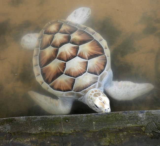 Sea Turtle is listed (or ranked) 21 on the list 38 Incredible Albino (and Leucistic) Animals