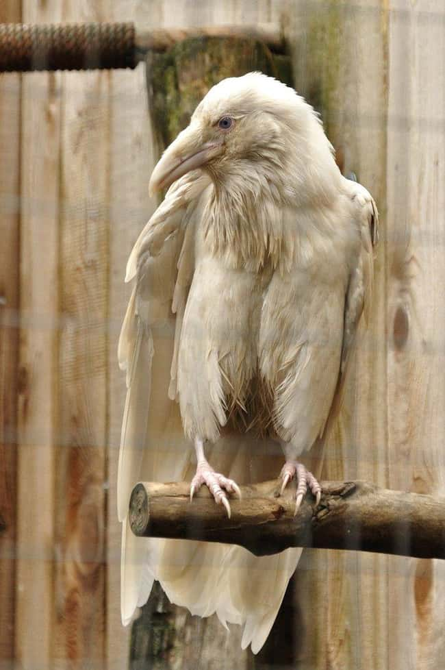 Raven is listed (or ranked) 23 on the list 38 Incredible Albino (and Leucistic) Animals
