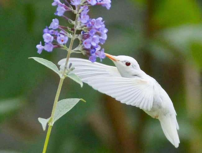 Ruby-Throated Hummingbird is listed (or ranked) 19 on the list 38 Incredible Albino (and Leucistic) Animals