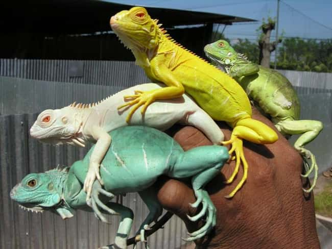 Iguana is listed (or ranked) 24 on the list 38 Incredible Albino (and Leucistic) Animals