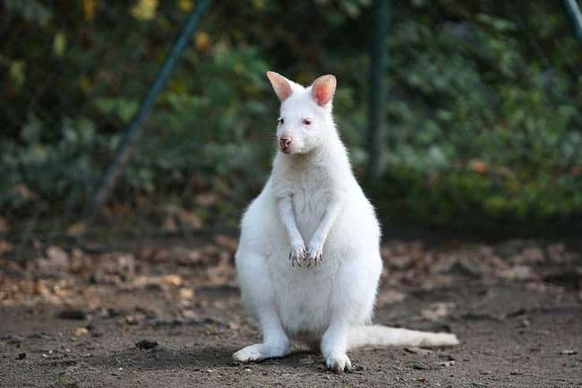 Kangaroo is listed (or ranked) 8 on the list 38 Incredible Albino (and Leucistic) Animals