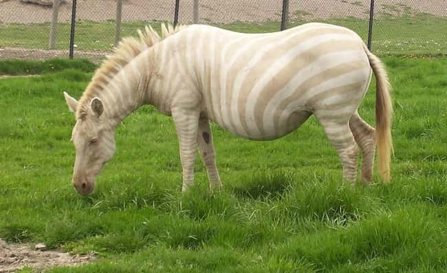 Zebra is listed (or ranked) 25 on the list 38 Incredible Albino (and Leucistic) Animals