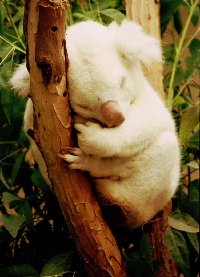 Koala is listed (or ranked) 26 on the list 38 Incredible Albino (and Leucistic) Animals