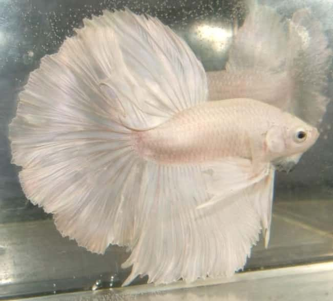 Betta Fish is listed (or ranked) 30 on the list 38 Incredible Albino (and Leucistic) Animals