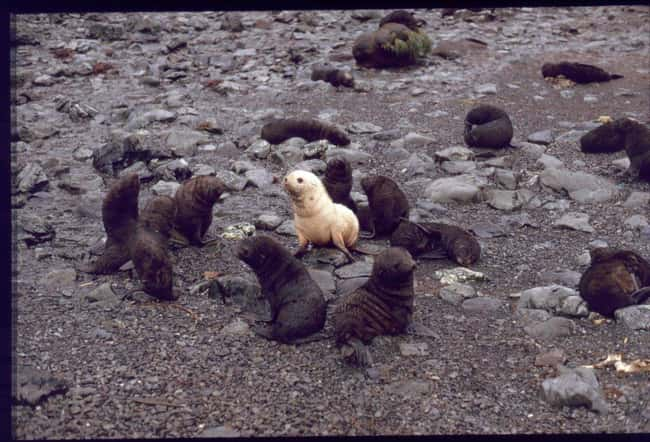 Seal is listed (or ranked) 35 on the list 38 Incredible Albino (and Leucistic) Animals