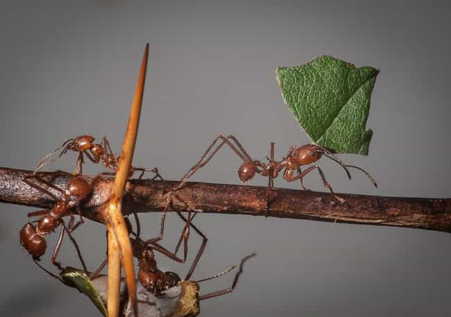 Leafcutter Ant is listed (or ranked) 3 on the list The Strongest Animals in the World