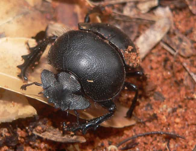 Dung Beetle is listed (or ranked) 1 on the list The Strongest Animals in the World