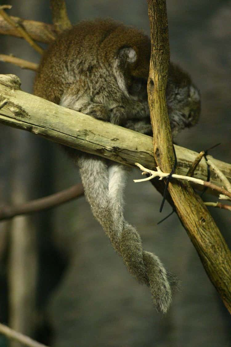 Titi Monkeys mate for life and can be found sitting in pairs with their tails entwined.