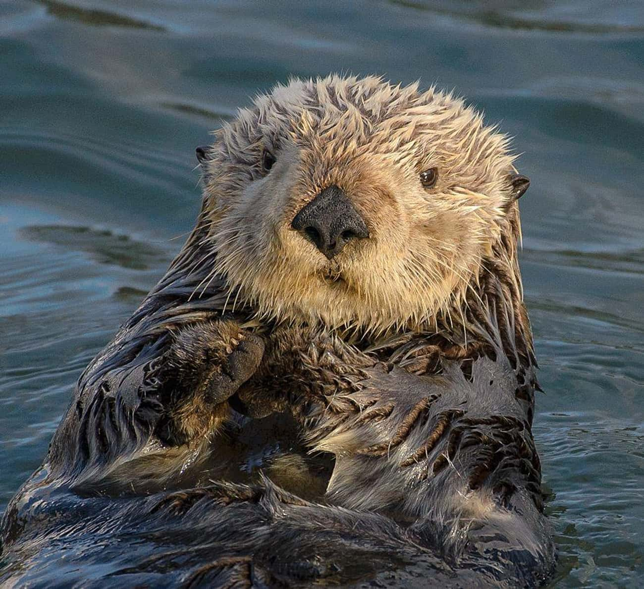 Otters have little pouches und is listed (or ranked) 2 on the list The Best of Awwducational: Fun Facts About Adorable Animals