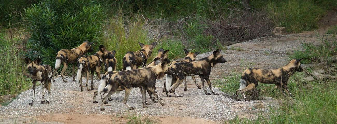 Wild dogs are the only African is listed (or ranked) 3 on the list The Best of Awwducational: Fun Facts About Adorable Animals
