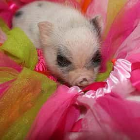 Mini Pig is listed (or ranked) 11 on the list The Best Pets for Kids