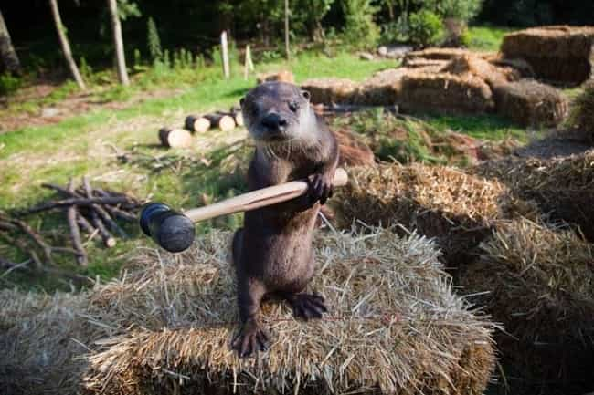 They use tools. is listed (or ranked) 2 on the list 20 Facts That Will Make You Fall in Love with Otters