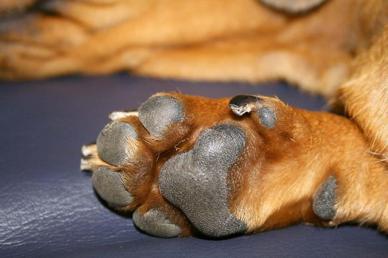 Dogs Sweat Through Their Paws is listed (or ranked) 2 on the list 25 Amazing Dog Facts You Never Knew