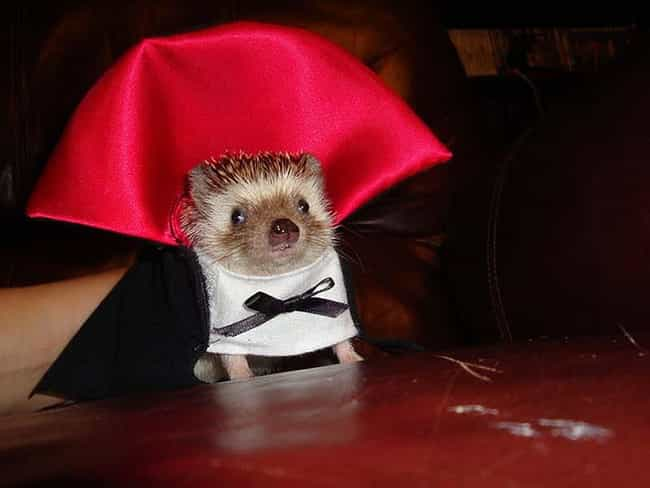 A Teeny Weeny Vampire is listed (or ranked) 4 on the list 31 Unfortunate Pet Halloween Costumes
