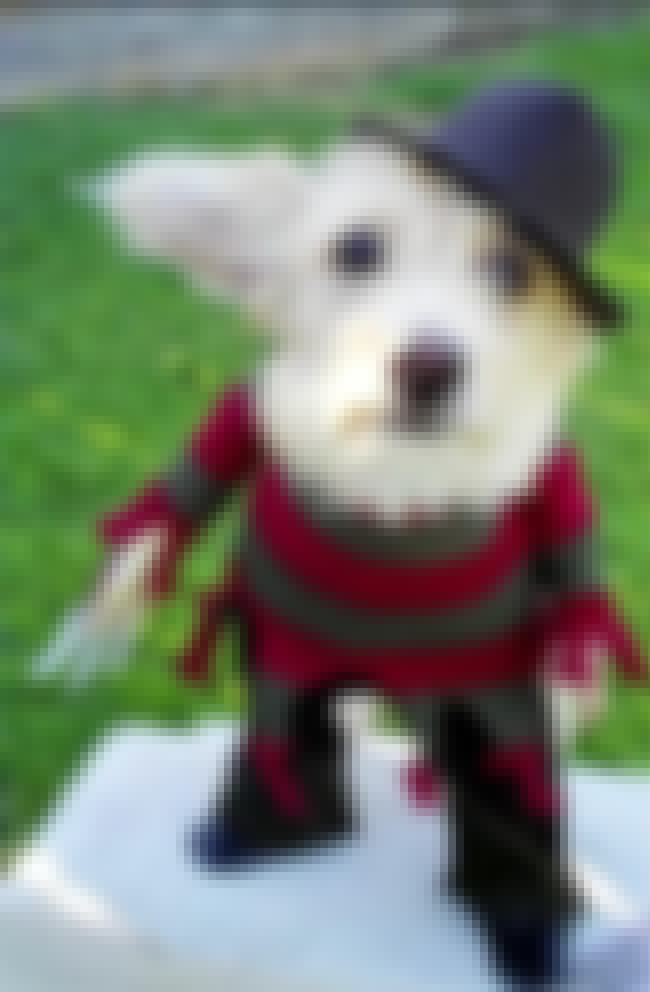 An Adorable Freddy Krueger is listed (or ranked) 4 on the list 31 Unfortunate Pet Halloween Costumes