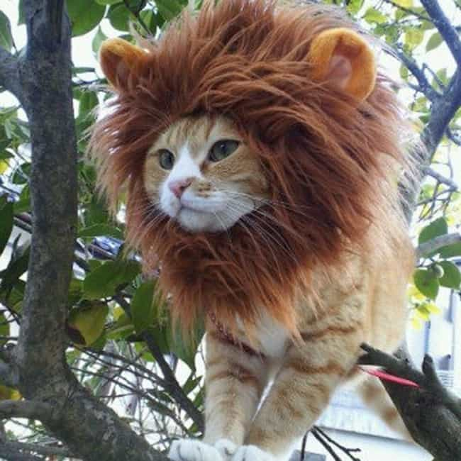 A Regal Lion is listed (or ranked) 3 on the list 31 Unfortunate Pet Halloween Costumes