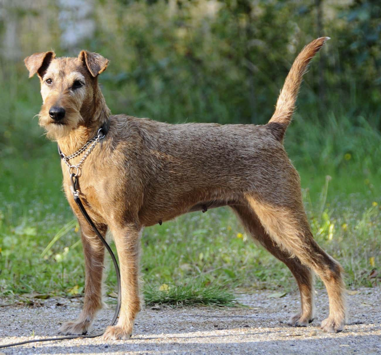 Irish Terrier Crossed the English Channel to Fight Alongside His Master in France
