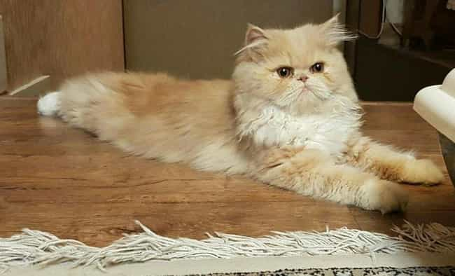 Persian Cat Traveled 1,000 Mil... is listed (or ranked) 4 on the list 18 Incredible Stories of Pets Returning Home