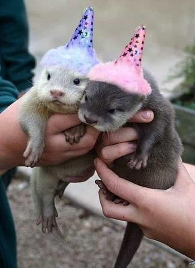 Birthday Otters! is listed (or ranked) 1 on the list 40 Cute Animals Celebrating Their Birthdays