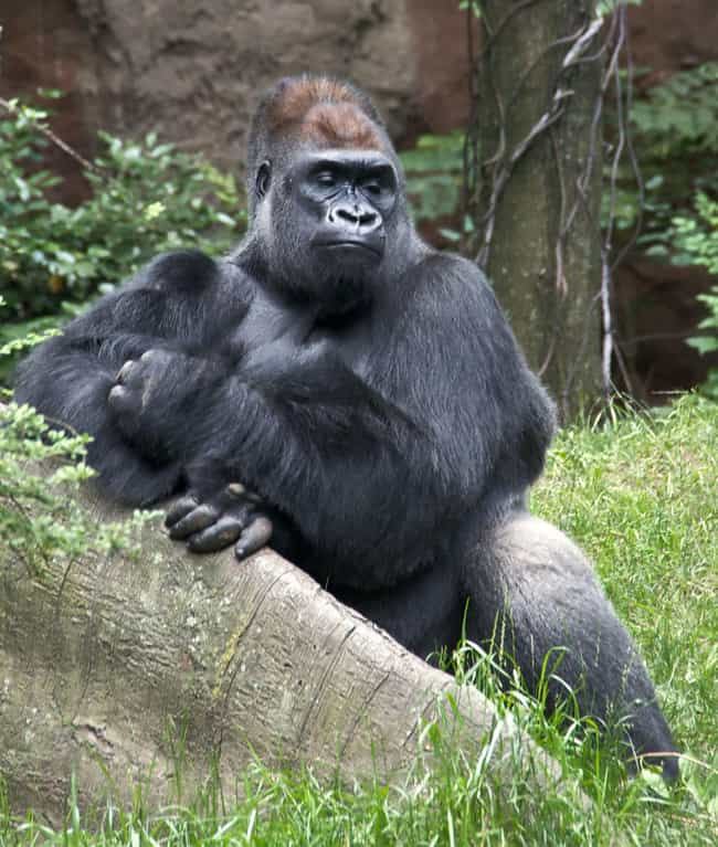 Gorilla Saved Toddler From Att... is listed (or ranked) 1 on the list 15 Times Wild Animals Actually Saved Humans