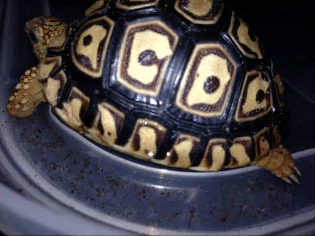 A Turtle Who Loves AC/DC is listed (or ranked) 4 on the list 47 Animals with Crazy Awesome Fur Patterns