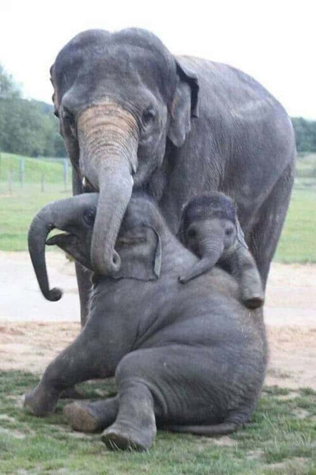 These Elephants That Will NOT is listed (or ranked) 8 on the list 41 Animal Family Photos That Are Way Cuter Than Yours