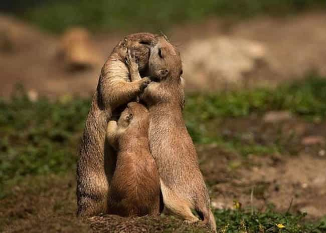 These Romantic Meerkats is listed (or ranked) 2 on the list 41 Animal Family Photos That Are Way Cuter Than Yours