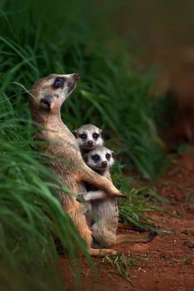 These Meerkats That Are Actual... is listed (or ranked) 4 on the list 41 Animal Family Photos That Are Way Cuter Than Yours