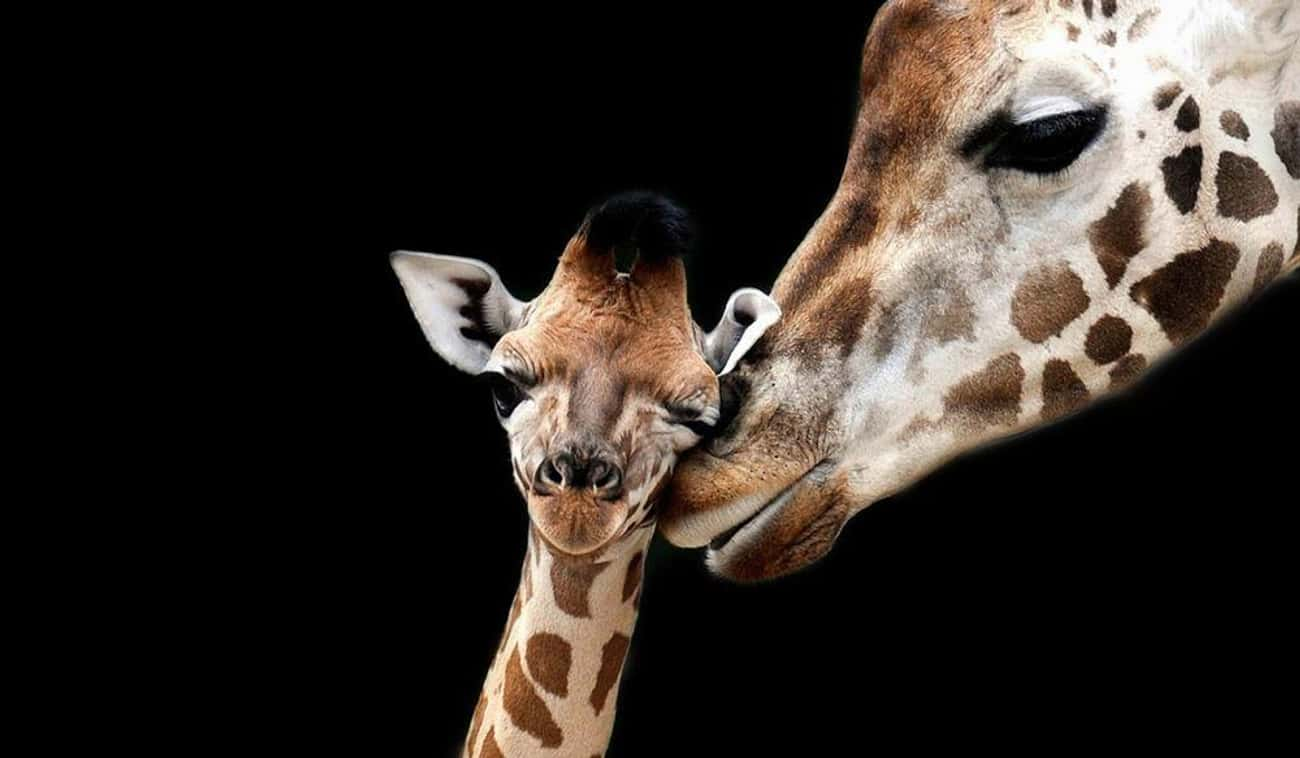 This Touching Portrait Of A Mo is listed (or ranked) 1 on the list 20 Animal Family Photos That Are Way Cuter Than Yours