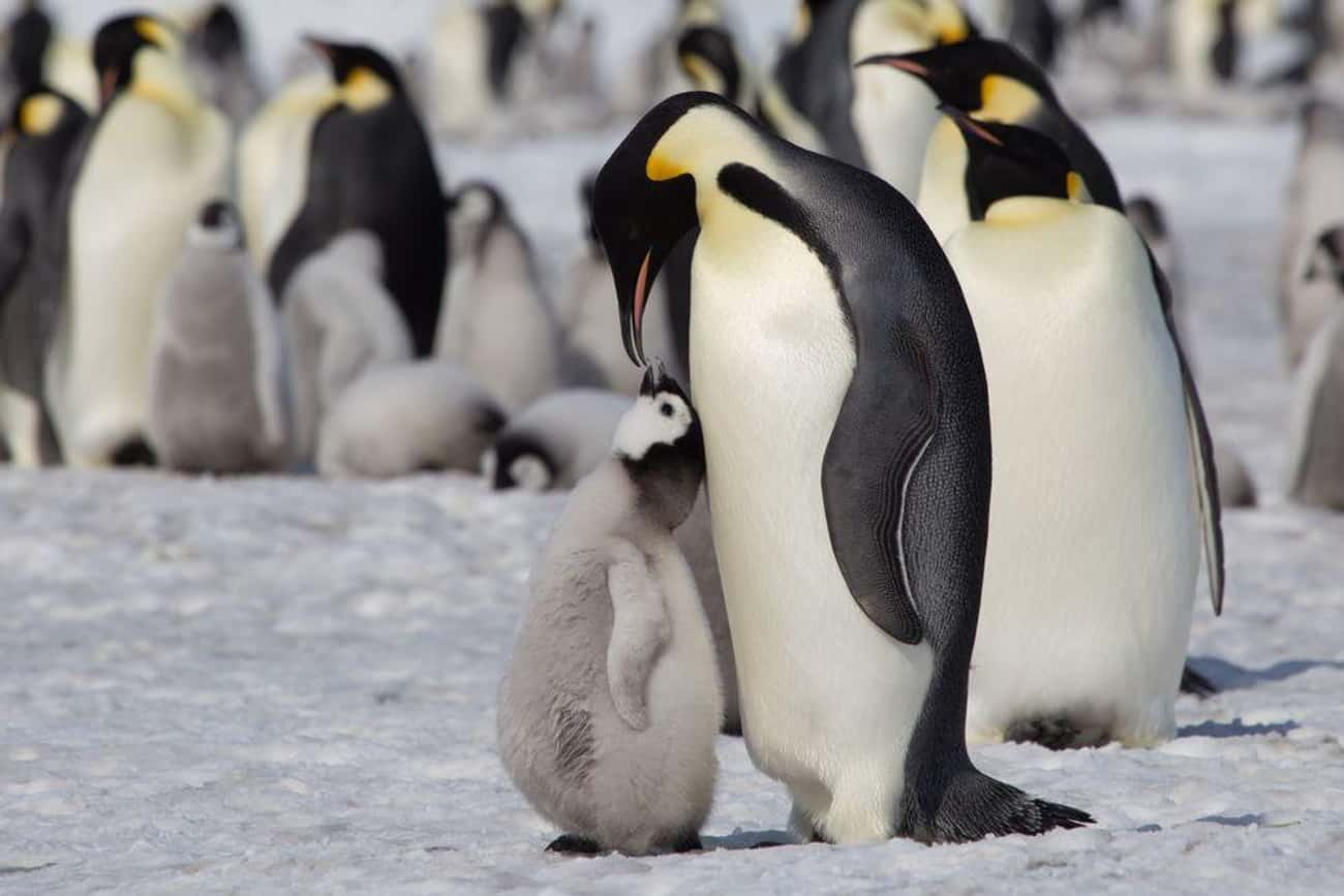 This Penguin Mom And Chick Dur is listed (or ranked) 2 on the list 20 Animal Family Photos That Are Way Cuter Than Yours