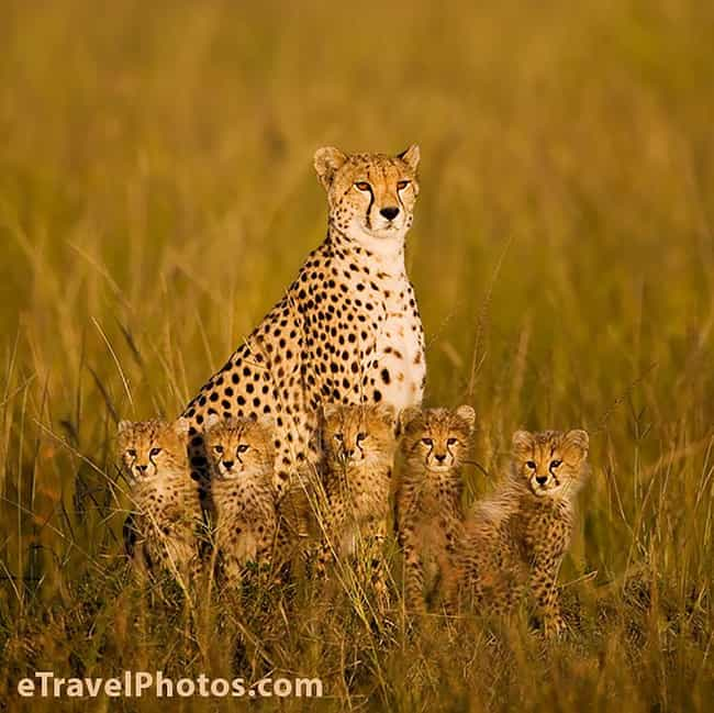 This Busy Cheetah Mom and Her ... is listed (or ranked) 2 on the list 41 Animal Family Photos That Are Way Cuter Than Yours