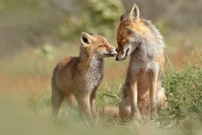 These Adorable Foxes Who Are T... is listed (or ranked) 1 on the list 41 Animal Family Photos That Are Way Cuter Than Yours