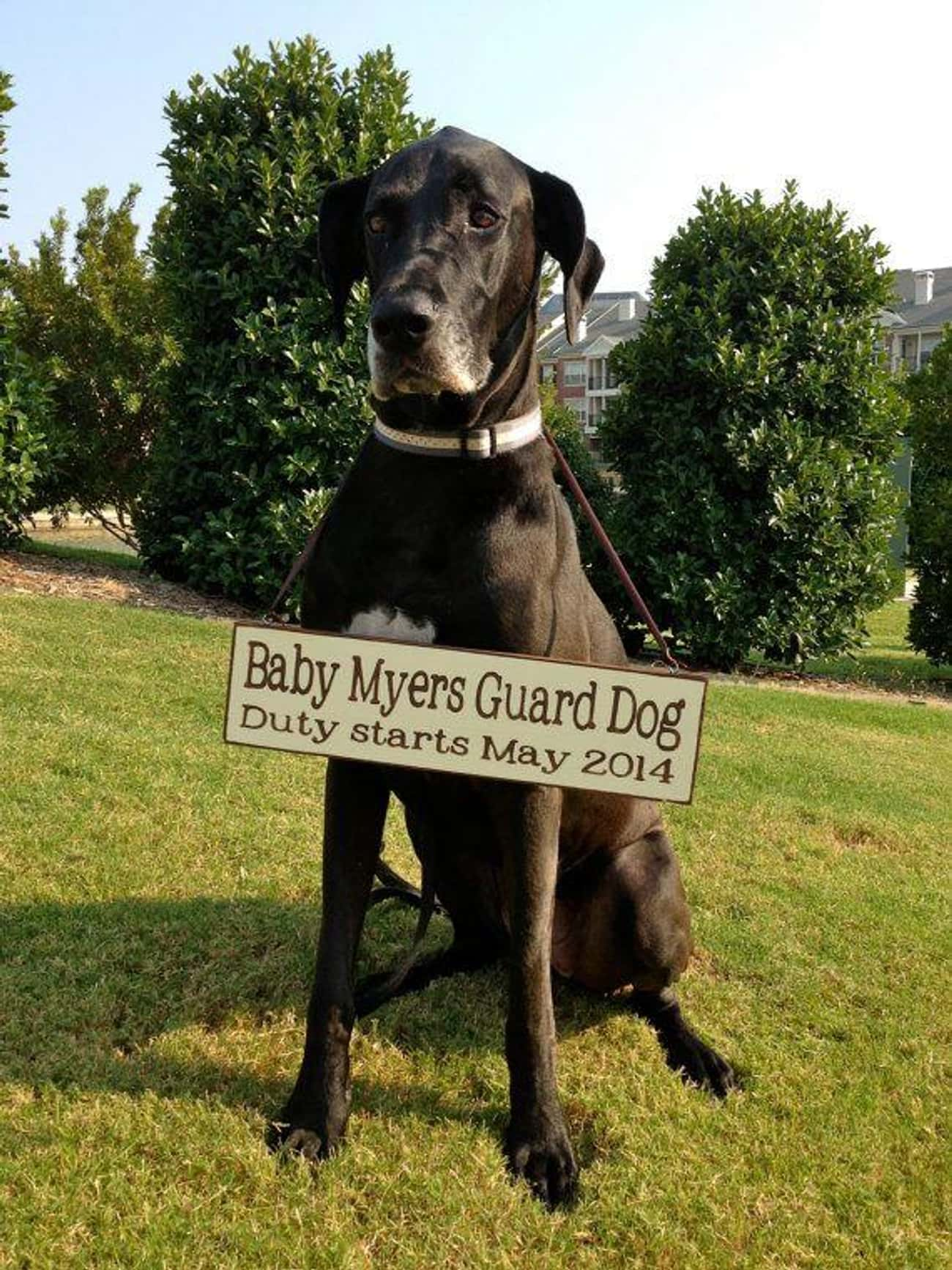 Give Your Dog A New Job is listed (or ranked) 1 on the list 14 Creative Pregnancy Announcements