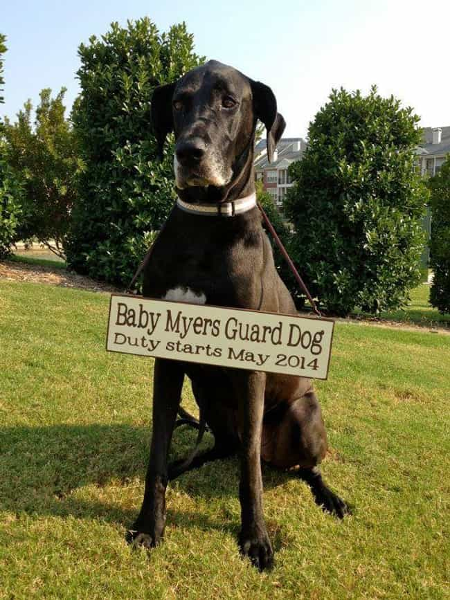 Give Your Dog a New Job ... is listed (or ranked) 1 on the list 23 Creative Pregnancy Announcements