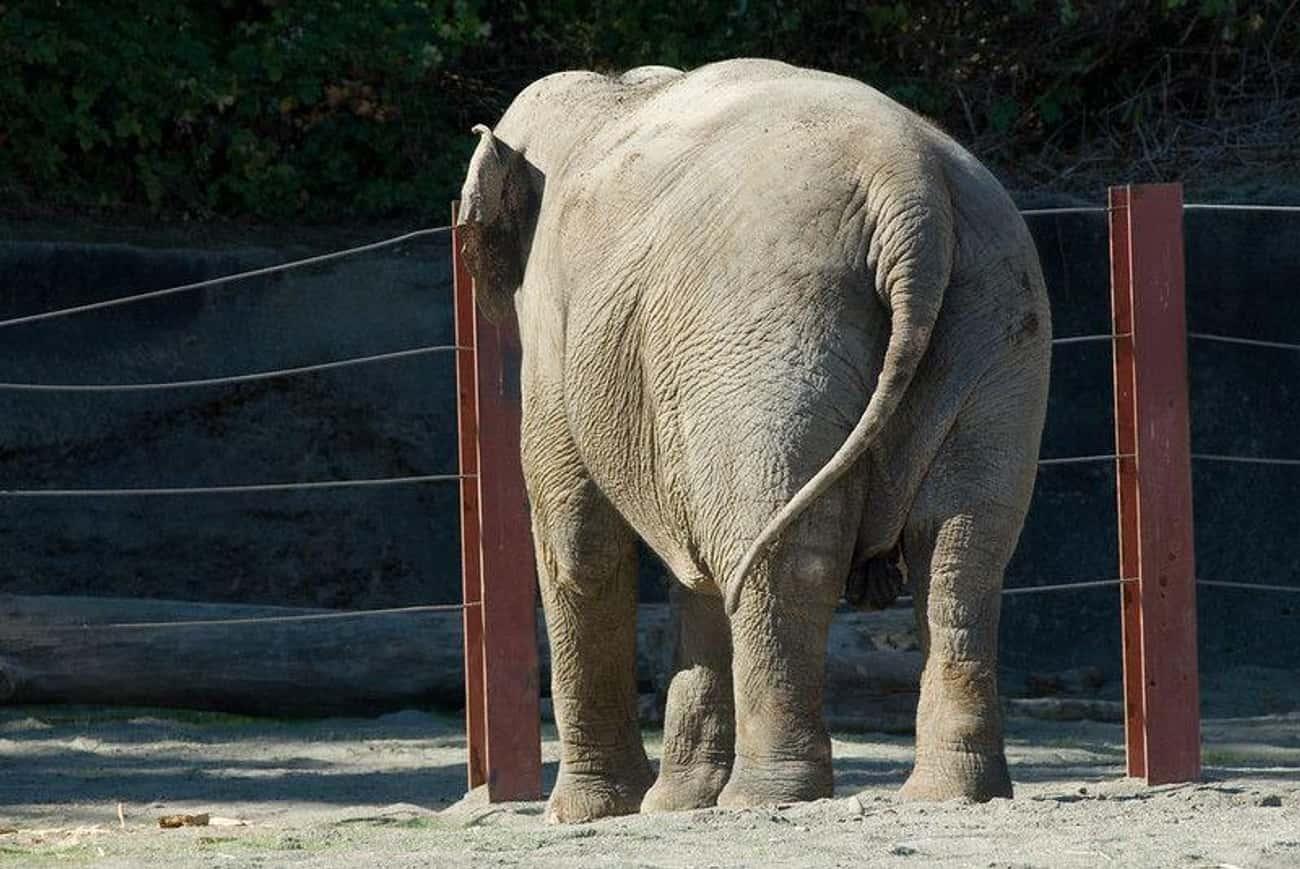 Elephant Inseminator