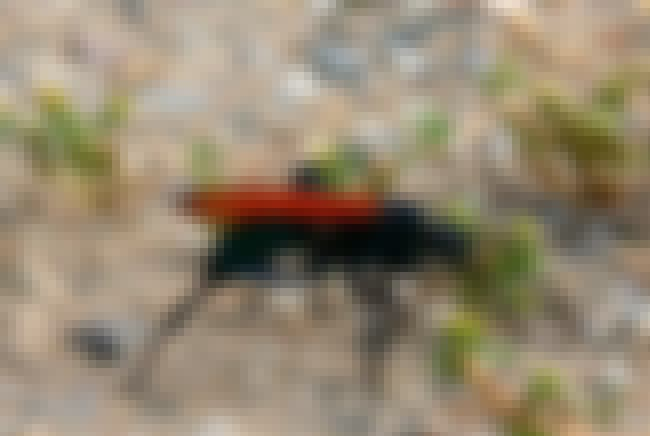 Tarantula Hawk is listed (or ranked) 2 on the list How Painful is That Sting? The Schmidt Pain Index