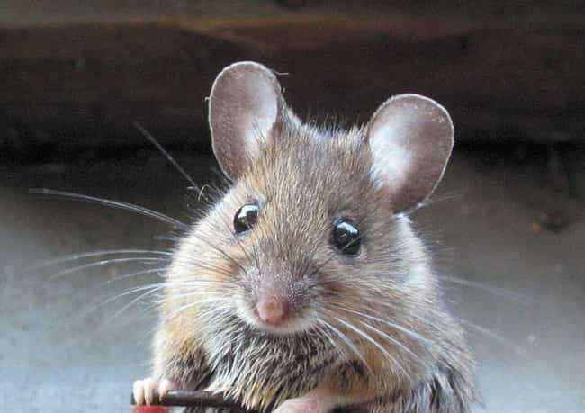 Dead Mouse Cures is listed (or ranked) 3 on the list The Craziest Medical Practices Doctors Thought Made Sense