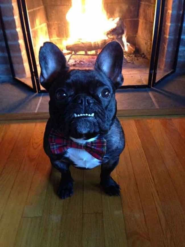 Bow Tie Frenchie Is Brin... is listed (or ranked) 5 on the list 60 Dog Underbites You Won't Be Able to Handle