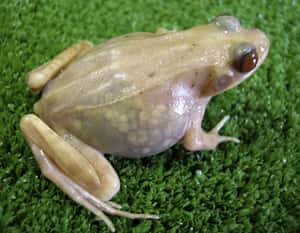 Transparent Frogs Show off The... is listed (or ranked) 3 on the list Craziest Cases of Animal Experimentation Throughout History