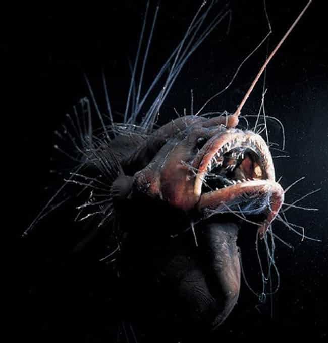 The Super Scary Fanfin Seadevi... is listed (or ranked) 1 on the list 45 Deep Sea Creatures That'll Scare You Away from the Ocean