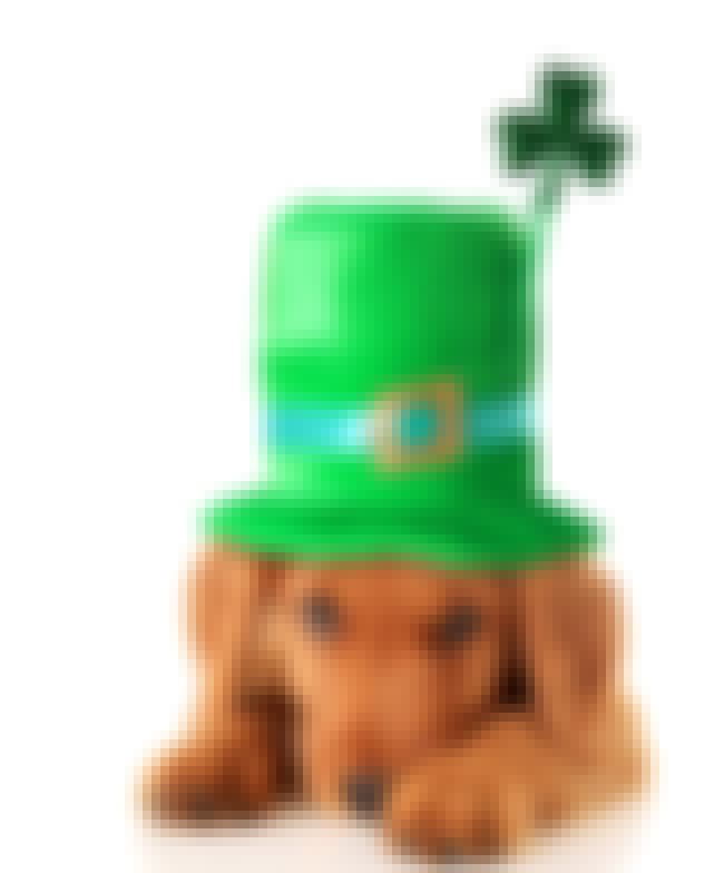 This Shy Irish Pup is listed (or ranked) 2 on the list 36 Pets Who Are Absolutely Nailing St Patricks Day