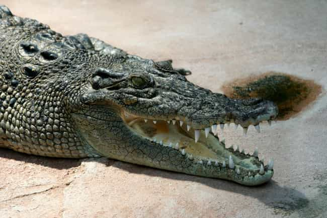 Crocodiles is listed (or ranked) 5 on the list The Top 29 Most Deadly Animals