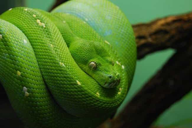 Ireland Never Had Snakes... is listed (or ranked) 3 on the list Myths and Legends About St. Patrick's Day