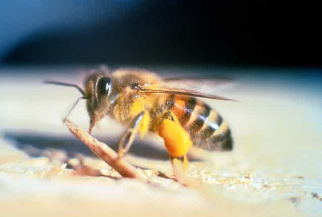 Killer Bees is listed (or ranked) 3 on the list Terrifying Creatures From Louisiana You Never Want To Encounter